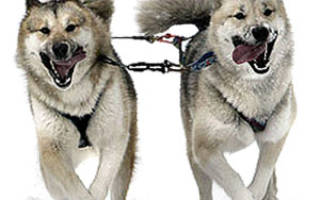 Описание породы Гренландская собака