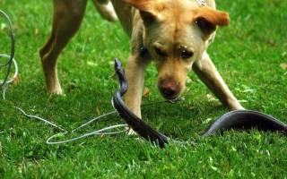 Укусы змей и ядовитых членистонгих — как лечить у собак