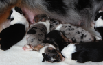 Общая оценка жизнедеятельности новорожденных щенков: практические приемы