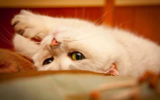 Особенности полового цикла кошек