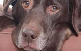 Эндокардит — как лечить у собак