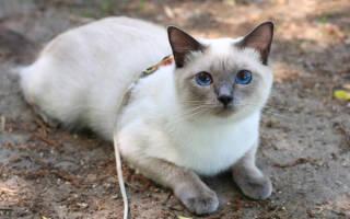 Тайская кошка — описание пород котов