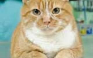Миокардоз у кошек