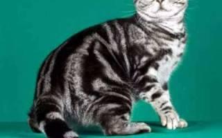 Американская короткошерстная кошка — описание пород котов
