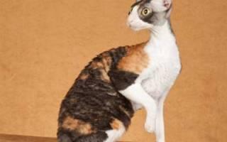 Корниш рекс — описание пород котов