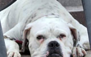 Флегмона  — как лечить у собак