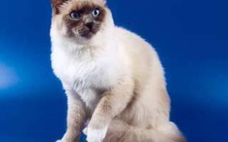 Невская маскарадная — описание пород котов