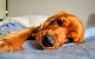 Бронхиты — как лечить у собак