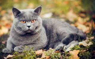 Шартрез — описание пород котов