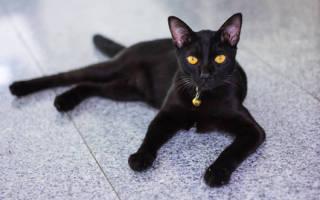 Мандалай — описание пород котов