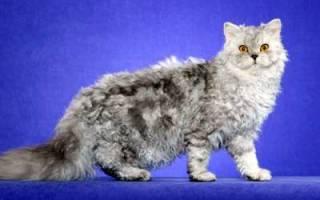 Селкирк-рекс — описание пород котов