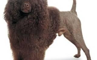 Описание породы Португальская водяная собака