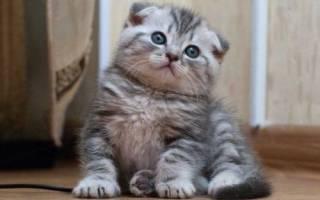Имена для шотландских и британских котят