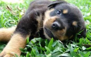 Токсокароз  — как лечить у собак
