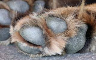 Ветеринарный врач: как правильно стричь когти собаке?