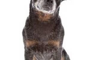 Описание породы Австралийская пастушья собака или австралийский хилер