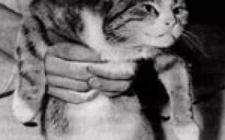 Гидроторакс (грудная водянка) у кошки