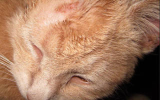 Чем лечить лишай у кошки?