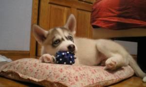 Как помочь щенку или научить его не плакать, когда он взаперти или на улице