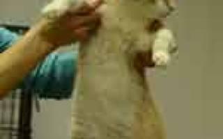 Инфекционный кошачий перитонит (FIP)