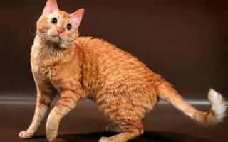 Уральский рекс — описание пород котов