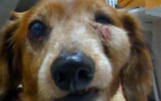 Абсцесс — как лечить у собак