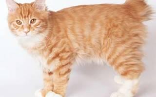 Карельский бобтейл — описание пород котов