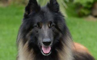 Туберкулез  — как лечить у собак