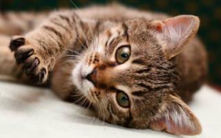 Кандидоз (кандидамикоз) у кошек