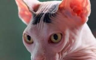 Канадский сфинкс — описание пород котов
