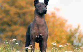 Описание породы Ксолоитцкуинтли или мексиканская голая собака