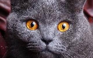 Британская короткошерстная — описание пород котов