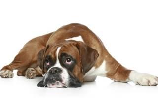 Анкилостоматидоз — как лечить у собак