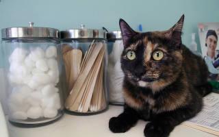 Бронхит у кошки