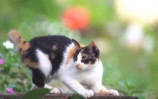 Аллопеция (выпадение волос) у кошки