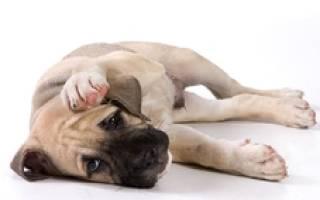 Болезнь Ауэски (псевдобешенство, инфекционный бульбарный паралич, ложное бешенство и зудящая чума )  — как лечить у собак