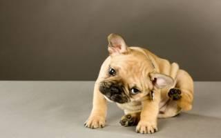 Пиодермия — как лечить у собак
