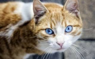 Охос азулес — описание пород котов