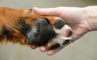 Как научить собаку команде «дай лапу»