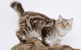 Американский бобтейл — описание пород котов