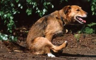 Гельминтозы у котов — как лечить у собак