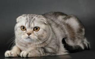 Шотландская вислоухая — описание пород котов