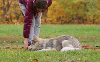 Как научить собаку лежать