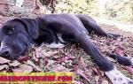 Кардиомиопатия дилатационная — как лечить у собак