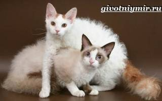 Лаперм — описание пород котов