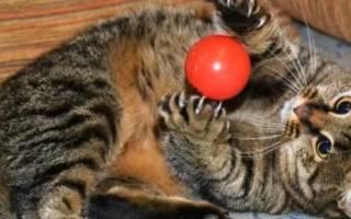 Микроспория, лишай у кошки