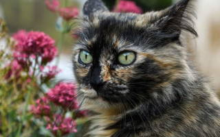 Инфаркт миокарда у кошки