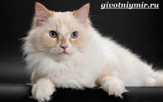 Рагамаффин — описание пород котов