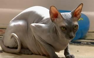 Лысые кошки: породы и особенности