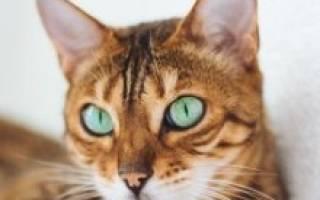 Бенгальская кошка — описание пород котов